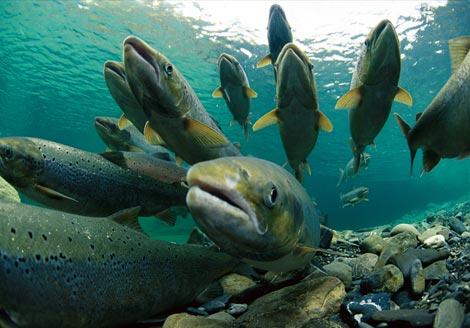 Ловля Атлантического лосося: как и где поймать крупную рыбу
